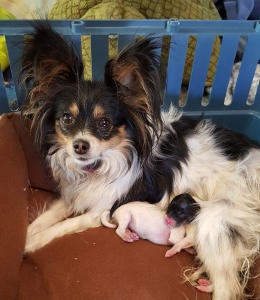 Papillon Puppies Born March 23 2016